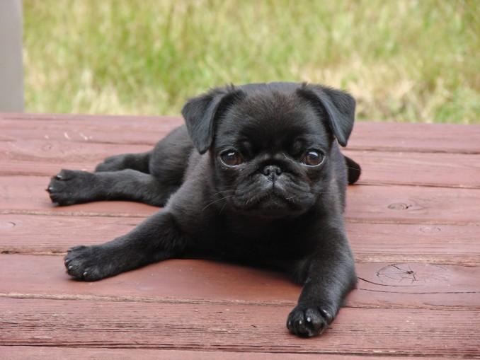 perro-pug-negro