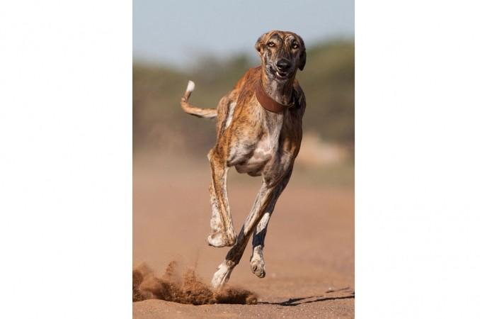 grayhound_el_mascotero_3