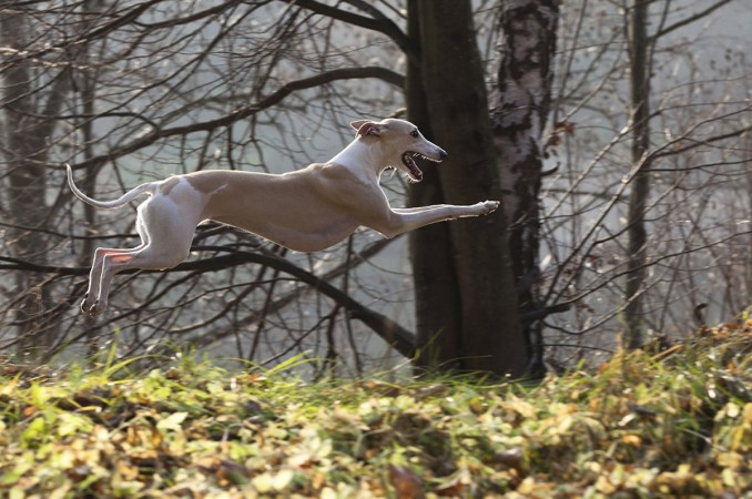 grayhound_el_mascotero_4