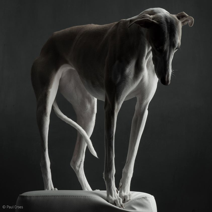 paul-croes-greyhound