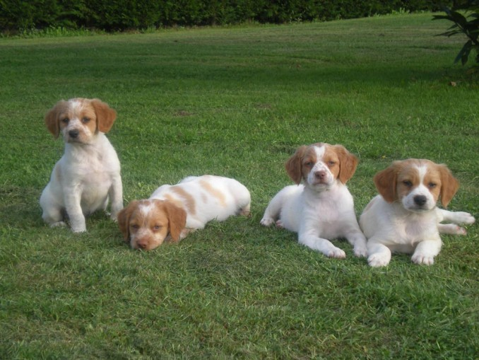 cachorros-perros-epagneul-breton