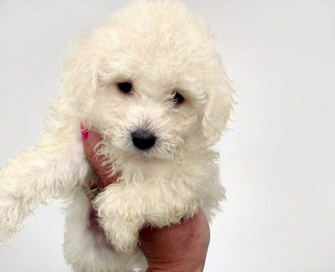 caniche-mini-micro-toy-hembra-blanca-cachorro-consulte-587901-mla20444961165_102015-f