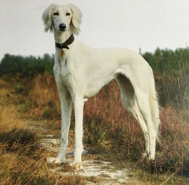 caracteristicas-raza-greyhound-y-saluki
