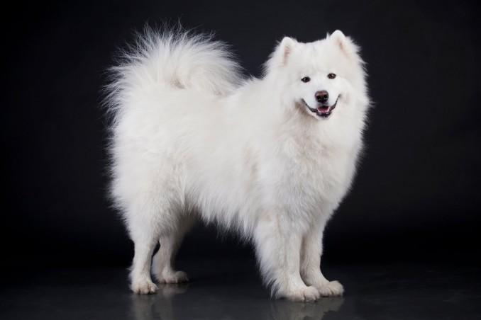 perro-samoyedo-color-blanco-mascotas-muy-lindas