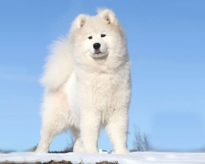 perros-samoyedo