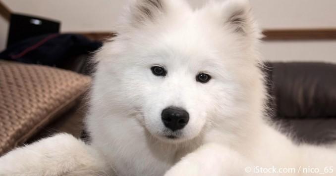 raza-de-perro-samoyedo-fb