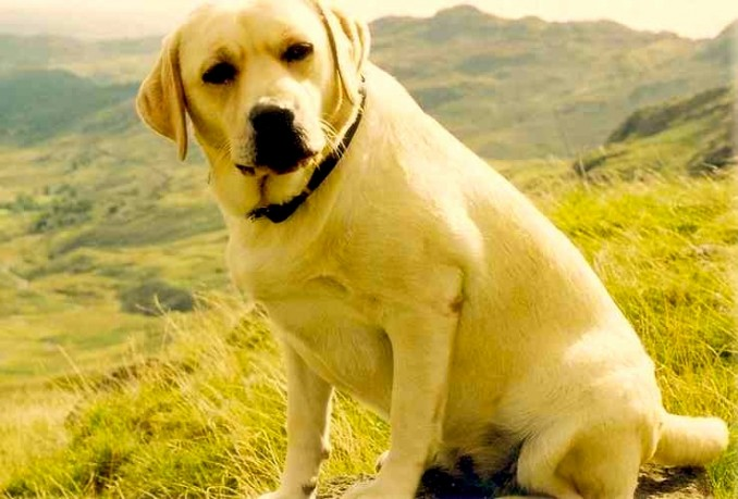 labrador-retriever-4