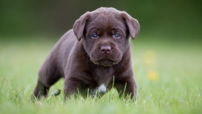 El Perro Labrador
