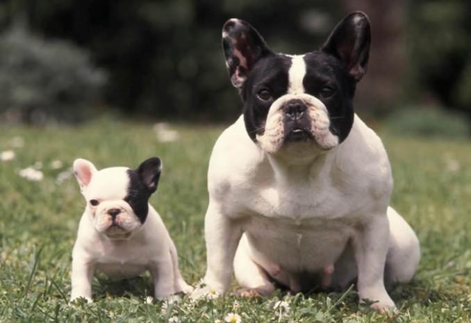 15-cosas-del-bulldog-frances-que-te-enamoraran-d