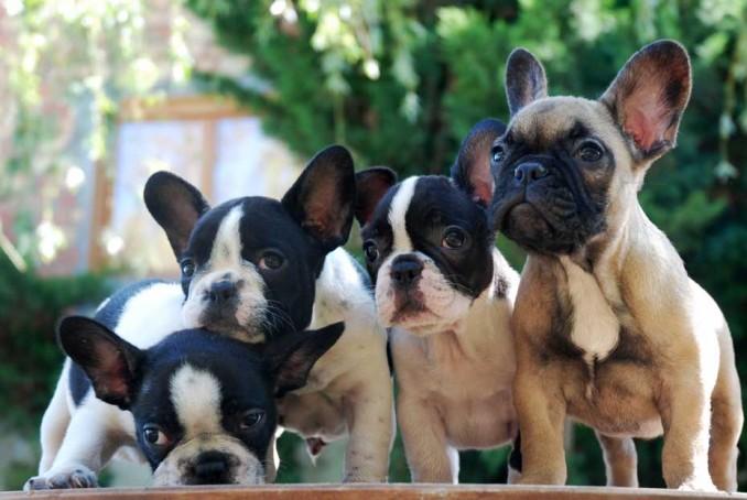 5-trucos-faciles-para-adiestrar-al-bulldog-frances-c