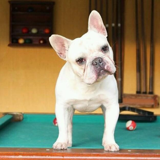 bulldog-frances-20150806184840