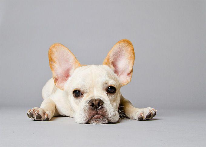 bulldog-frances-cachorro-perro