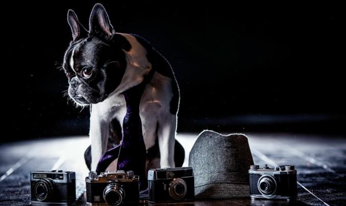 bulldog-frances-caracter-2