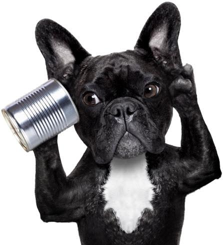 bulldog-frances-negro-escuchar-foro