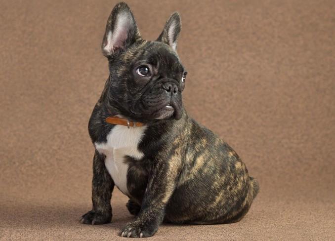 caracteristicas-bulldog-frances-3