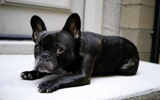 caracteristicas-bulldog-frances-perro-pequeno