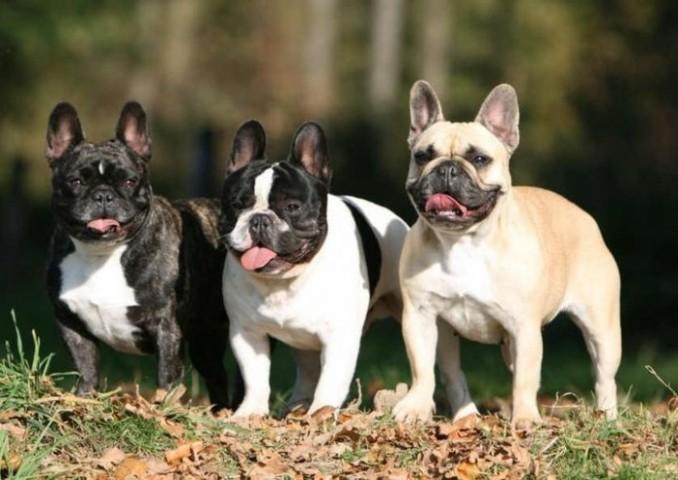 francuzskij-bulldog-foto-696x493