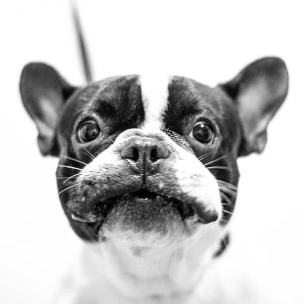 img_535_bulldog-frances_0_600