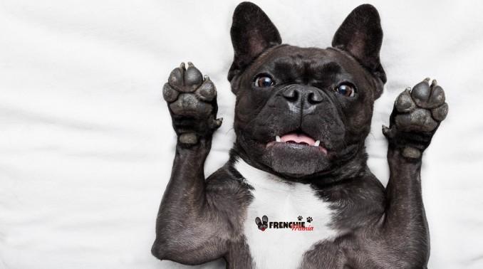 razones-para-no-comprar-bulldog-frances-lealtad-2