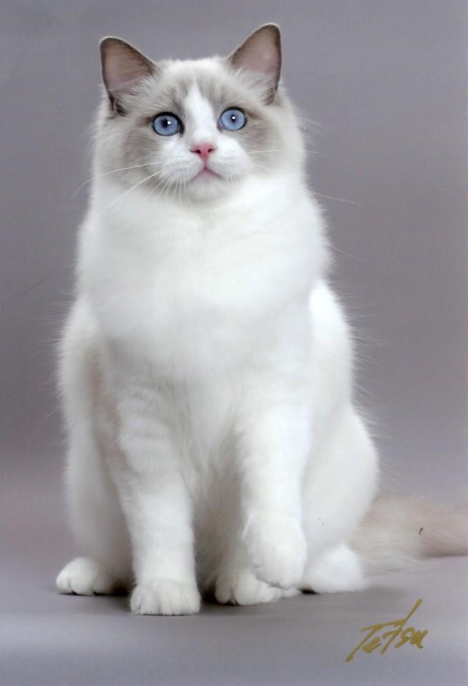Gato Ragdoll R$ Raza de gato Ragdoll