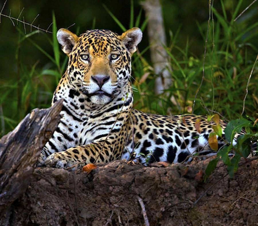 JAGUAR 】Características, Curiosidades Fotos De Jaguares